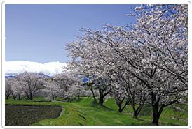 鹿化川の桜並木